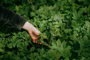 Wild edible plant walk for beginners in Lund